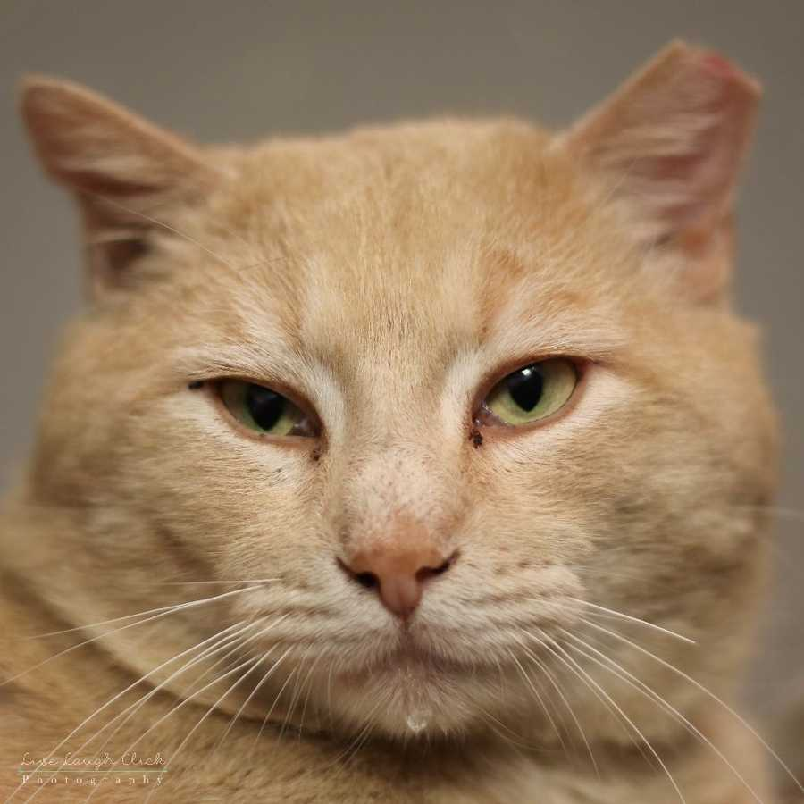My name is Cantaloupe! I have a very big head (literally), hence my perfect name. I was found as a stray, but I belong in a home and I am ready for a home to call my own. I am big, but if you walk in the room and hear little chirp sounds, that's me! I am very talkative and all the staff members say I make the cutest little sounds! Cantaloupe has tested positive for FIV, which means he has a compromised immune system. MORE