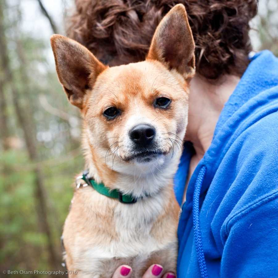 Beau looks like a little fox. He is clever like a fox. Beau is crate trained and walks pretty well on a leash. Beau is okay with some other dogs but he would do best as an only dog. He would do best in a home with teenagers or adults only. Come meet this guy today! MORE