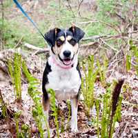 Patty is a sweet dog that came to us from Kentucky. She came up with her sister Clover but they are not a bonded pair. Patty is a little timid when she first meets people but she warms up pretty quickly. She loves to go for walks, especially in the woods! Patty is crate trained. MORE