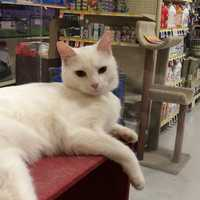 Sundance is a DSH two year old white male. He and his brother were surrendered and need to find a new home together. They are very sweet and friendly and get along well with people and other cats. They are very bonded and need to find a home together. Please consider them. MORE