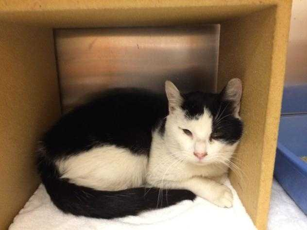 Baby is a 1-2 year old DSH white and black male. He is very vocal and affectionate and gets along well with other cats and people. He was a stray who was rescued from the mean streets. MORE