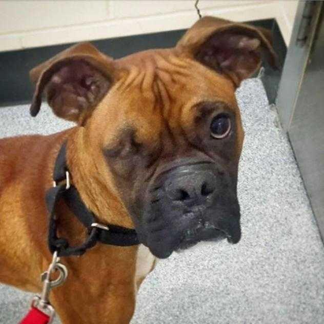 Yes, I'm a Boxer named Rocky, and I'm a friendly, joyful, playful boy, 1½ years old, and 44 lbs. I'm a proud member of the Boxer breed, but when it comes to contact sports, wrestling's my game! I'm an energetic and cuddly guy, so why not have fun and share affection at the same time?! I could live with another robust dog who also likes to play, and in my previous home I was good with the children, ages 10-14, so I could live with big kids. Before I go home with my new family, I should meet all the humans and dogs to make sure we get along well. MORE