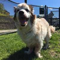 Hi! I'm Sebastian, a cross between an adorable, affectionate Australian Shepherd and a wonderful, wiggly Welsh Corgi. I'm about 9 years old. Dog breeds of distant lands united to make me the individual I am, and I'm ready for my world to be filled with love! I'll make a happy family even happier, because I'm a cheerful dog who likes to give kisses. I need a quiet, peaceful home where I'll be the one and only dog. Maybe I could live with calm, gentle children if we meet first and get along well. MORE