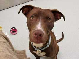 Hi there, everyone! I'm Walnut, a super cute, social, wiggly Lab mix girl with a shiny chocolate brown coat. I'm very affectionate and love to be petted. I'm also quite energetic - I am still a pup, after all! - and I love to run around and play with toys, My ideal new family would be a person or people who would enjoy playing with me, and would bring me to Beginners' Obedience classes so I could learn good doggie manners and channel my enthusiasm in a good way. MORE