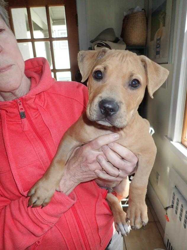 Hello, I'm Butters, a 10-week-old pit bull puppy. I had kind of a rough start in life, but I'm on the mend and am looking to start a brand new life! I'm an energetic guy who loves to play, then take a nap, then play some more! I've been going to obedience classes here at the adoption center and am an A student. I am looking for a new family that will play with me, get me lots of exercise, and take me to more training (I love the treats!). I could live in a home with other dogs and older kids. MORE