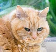 Hi, my name's Francis! I'm a sweet, friendly lady. When you come over to me I'll start purring instantly, and I love it when you pet me. My favorite place to be is near you! I'm a mellow girl. I'm a bit on the heavy side (ok, you could use the word obese), and will need a little help with grooming. I'm looking for a caring home with a person to love - do you think that could be with you? MORE