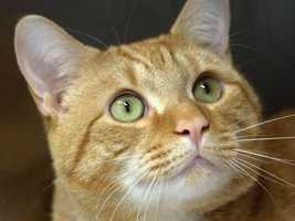 My name is Garfield and I'm about 5 years old. I am incredibly nice when I get to know you but change is very difficult for me so I would like a quiet consistent home where I can take time to settle in. I might be fine with older children who have lived with cats before and will understand when I get overwhelmed and need my own space. If you think your home would be a good fit for me please come to the adoption center and ask about me. MORE