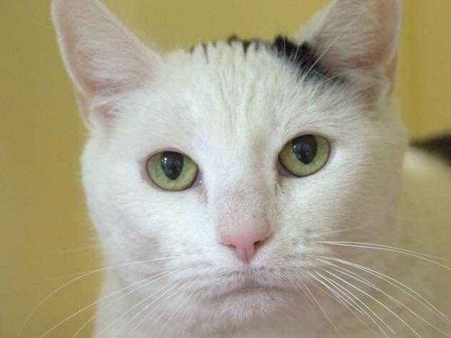 Hi there! I'm Melissa, a sweet kitty who is getting used to my new surroundings at the MSPCA-Boston. But please say hello! I quite enjoy pets and scratches on the head. I am really excited to find a new loving home. If you are looking for a mellow and loyal companion, your search just ended! MORE