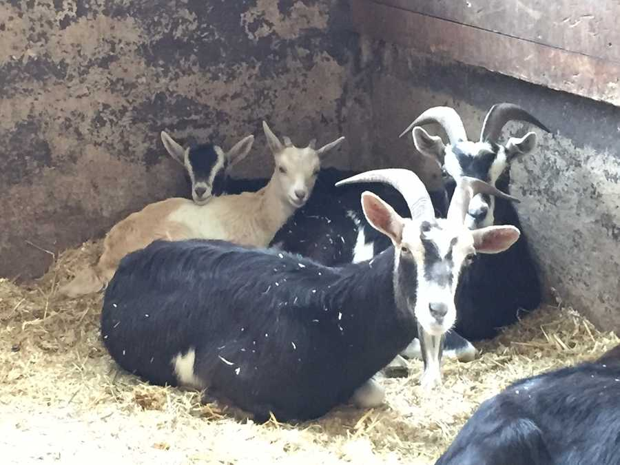 Goats do well in herds and adopters are encouraged to take home more than one.