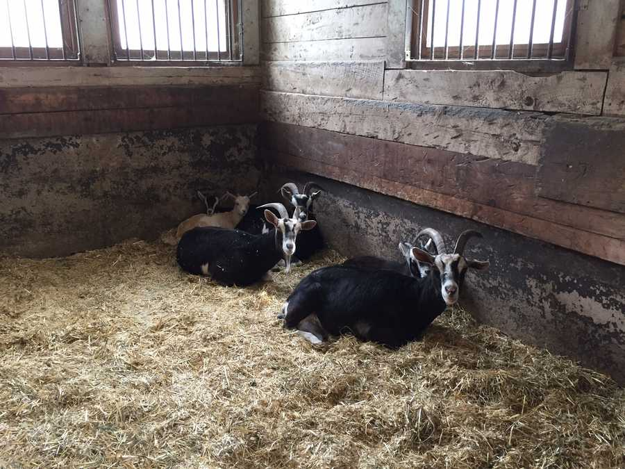 The goats rest in the safety and warmth at the Nevins Farm barn.