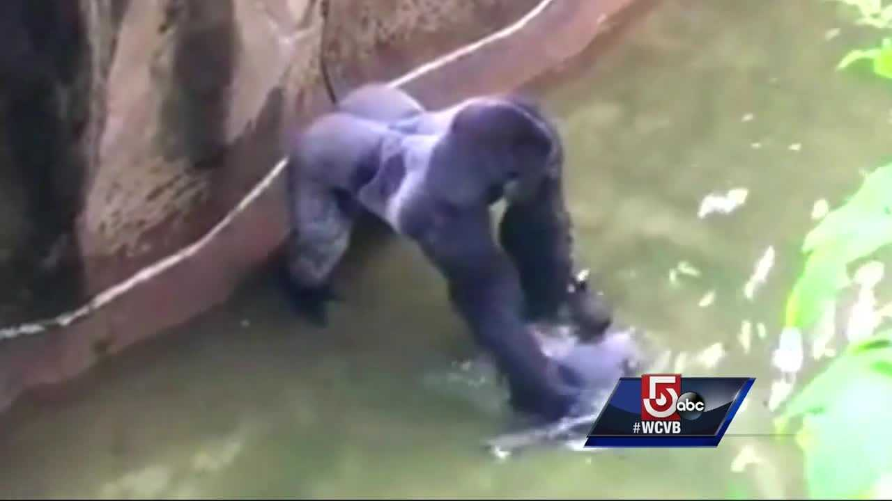 Officials believed the child was in danger and felt it necessary to shoot Harambe.