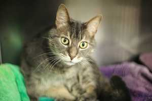 Hi, my name is Dusty! I am a 4 year old female DSH. My sister and I were left behind in the apartment when my owners moved out. How sad we were to be left behind like that. I am used to being indoors at all time. I need a loving family in a happy home who will give me the time we need to re-adjust and feel comfortable again. Please contact the shelter staff by phone at (978) 443-6990 or email at info@buddydoghs.com, or visit us during our regular business hours at 151 Boston Post Road in Sudbury, MA.