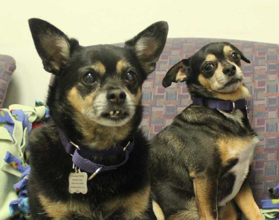 Lily (female, left) and BooBoo (male, right) are 8-year-old Chihuahuas. They were living with their owner in her car until she felt that she could no longer care for Lily's diabetes. Lily and BooBoo are very sweet, loving dogs. They get along well with other dogs (except when it comes to sharing meals!), and seem to be okay with cats. For more information, please call, email, or visit the shelter. Buddy Dog Humane Society, Inc. Sudbury, MA (978) 443-6990 or info@buddydoghs.com