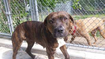 My name is Millie! I am a 3 year old spayed-female boxer mix. I'm a sweet and laid back boy that was found as a stray in South Carolina, so not much is known about my background. I do get nervous at first when I meet new people, but quickly come out of my shell. I'm housebroken and get along with other dogs too. Please contact the shelter staff by phone at (978) 443-6990 or email at info@buddydoghs.com, or visit us during our regular business hours at 151 Boston Post Road in Sudbury, MA.