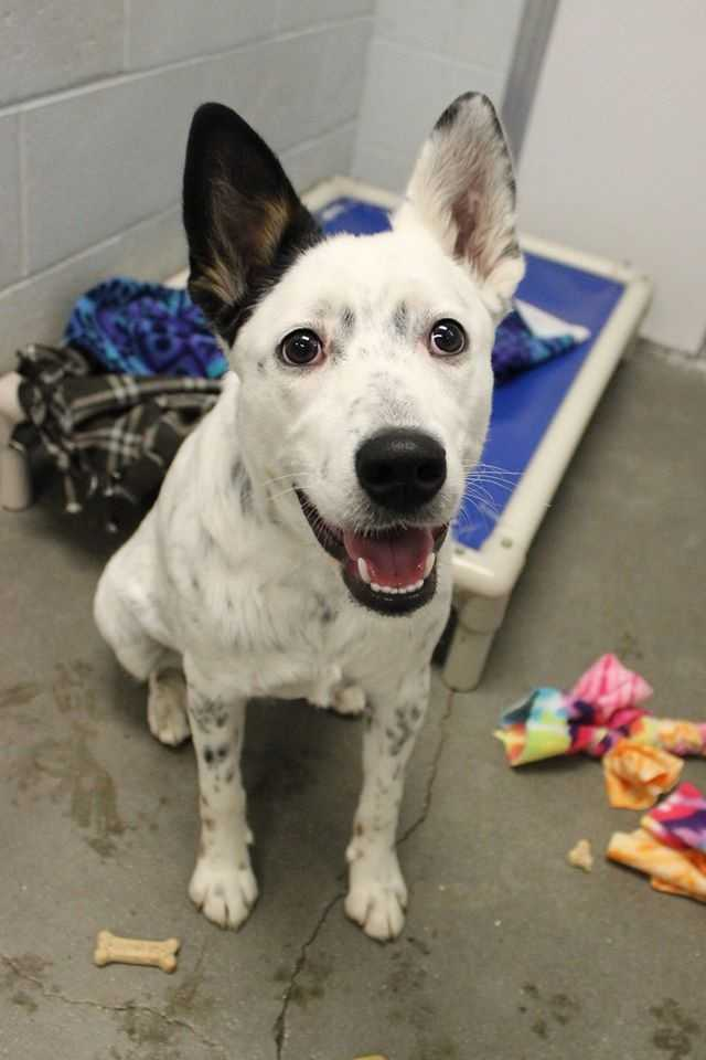 My name is Oreo! I am a 1-year-old female Australian Cattle Dog mix. True to my breed, I am very active and intelligent. I will need a home that has the time and energy to give me ample exercise. I am a herding dog, so I would do best in an adult-only home, with owners who are experienced with my breed. I am super sweet and I would make a great companion for hiking, or someone who wants to do agility with their dog! For more information, please call, email, or visit the shelter. Buddy Dog Humane Society, Inc. Sudbury, MA (978) 443-6990 or info@buddydoghs.com