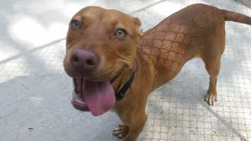 My name is Seven! I am a 9 month old neutered-male lab mix from South Carolina. I am still just a pup, so I have lots of energy. I am a jubilant, bouncy goofball. I will need to go to puppy classes to learn how to walk on a leash and how to greet people politely. Please contact the shelter staff by phone at (978) 443-6990 or email at info@buddydoghs.com, or visit us during our regular business hours at 151 Boston Post Road in Sudbury, MA.
