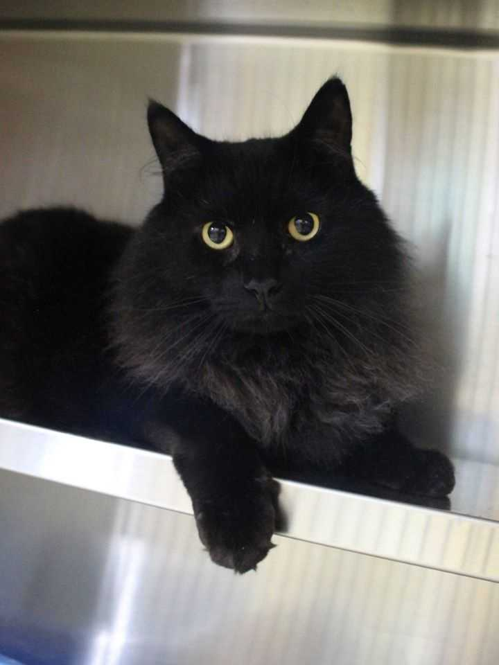 My name is Wizard! I am a 5-year-old male DLH. I am a very inquisitive and smart cat. I lived with a gentleman as an only pet until recently when he moved and could not take me with him. I would prefer to be an only cat. I'm a brave kitty - I won't be pushed around by a dog! For more information about me, please call, visit, or email the shelter. Buddy Dog Humane Society, Inc. Sudbury, MA (978) 443-6990 or info@buddydoghs.com