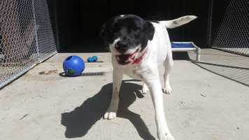 My name is Big Boy! I am a 3.5 year old neutered-male Border Collie mix from South Carolina. I am a goofy, happy-go-lucky guy! I can be a little shy when I first meet new people, so please be patient and gentle when you introduce yourself. I seem to get along with other dogs, but I don't think I've met a cat before. Please contact the shelter staff by phone at (978) 443-6990 or email at info@buddydoghs.com, or visit us during our regular business hours at 151 Boston Post Road in Sudbury, MA.