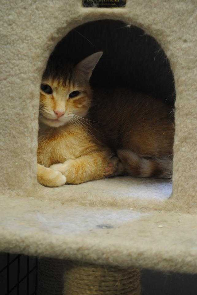 B.J. is a 2 year-old orange Male DSH. B.J. would do best in a home that matches his energy-level (laid-back), and is quiet. B.J.'s new family will need to be patient with him while he settles into his new home. B.J.'s new home should be adults-only or with cat-savvy teenagers. B.J. gets along with other calm cats, but he doesn't like dogs. For more information, please call, visit, or email the shelter. Buddy Dog Humane Society, Inc. Sudbury, MA (978) 443-6990 or info@buddydoghs.com