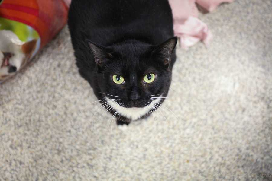 My name is Blueberry! I am a 6-year-old female DSH. I prefer a low-key home where I can stretch out and relax as I please. I do like some activity - I'm an amateur explorer. For more information about me, please call, visit, or email the shelter. Buddy Dog Humane Society, Inc. Sudbury, MA (978) 443-6990 or info@buddydoghs.com