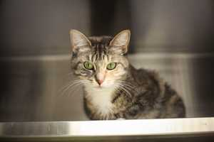My name is Boo! I am a 2 year old female DSH. I had a very nice owner but he had a terrible accident and could not work. He had to move and he could not take me with him. I was sad about that. I am not aggressive but I can be shy. I like to be pet and cuddled. I need to be indoors only&#x3B; I also should be an only animal in the home. I am a really nice girl! For more information, please call, email, or visit the shelter. Buddy Dog Humane Society, Inc. Sudbury, MA (978) 443-6990 or info@buddydoghs.com
