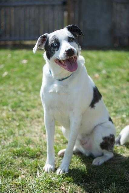 Jax. I am still waiting for my forever home! Let me introduce myself, my name is Jax and I am 6 years old and I think I am an Australian Cattle Dog Shepherd mix. I am super silly, adore snuggles and kisses, love to play and go for walks, Oh did I mention that I am very obedient. I would love a home with a female canine sibling or I could be the only dog, either way I can't wait to meet my new people who will love me for the rest of my life. MORE