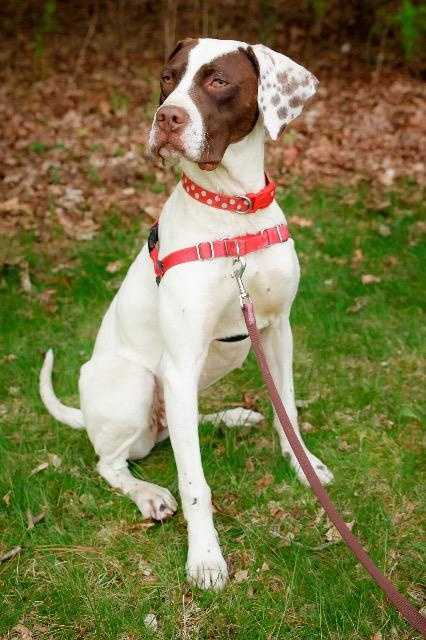 Trixie. Hi my name is Trixie and I am an 8 month old English Pointer. I am deaf but that does not stop me from enjoying life nor should it stop you from adopting me. I am totally awesome! Let me mention just a few of my awesomeness qualities, I love to play, I am very smart, I am learning hand signals, I am affectionate and my canine and feline foster siblings love me. I would love a forever home with a canine sibling and a fenced in yard so I can run freely. MORE