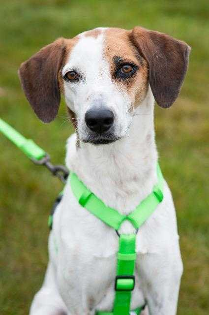 Bo. Howdy my name is Bo, I am a 1.5 year old adorable Hound and I am looking for my forever home. I am originally from Texas where life was not too good for me but now I am in New England and I am loving life. I love to play especially running around in the back yard, I also love my toys as well a learning new games to play. I can be a bit timid at first then I warm up quickly and my little bob tail just can't stop wagging. I am going to need a family who is patient with me but let me tell you once I am comfortable, you will be highly rewarded with the most loyal and loving pup, Me! MORE
