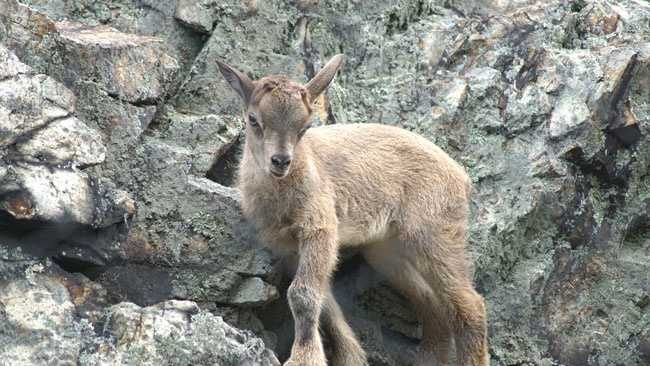 A newborn markhor, which is the largest wild goat species, is now on display at Stone Zoo