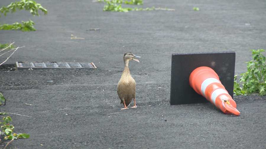 A frantic mother duck and the frightened sounds of her ducklings drew the attention that brought humans to the rescue Thursday.