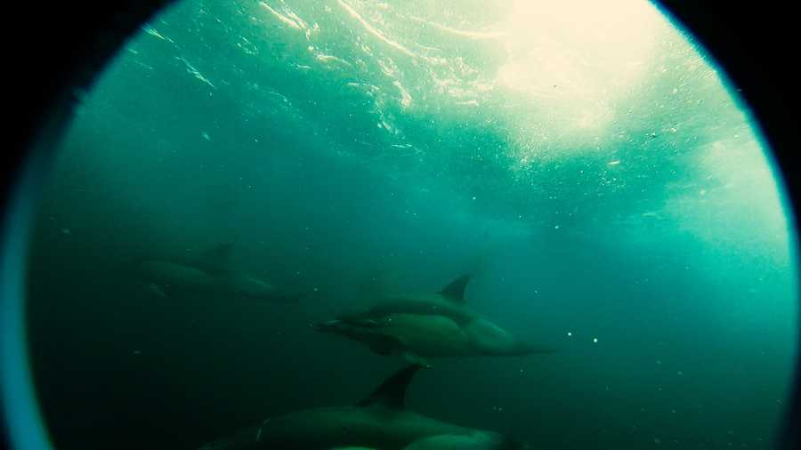 Dolphins surround the Cyclops prior to a dive to the wreck.