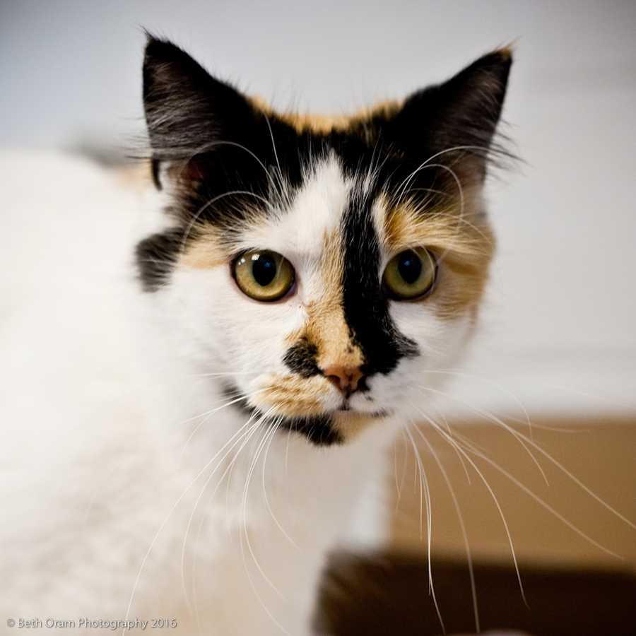 Meet Bing! Bing is super sweet and ready for a family of her own. She seems to get along well with other cats, and loves people! Come meet this gorgeous girl today! More