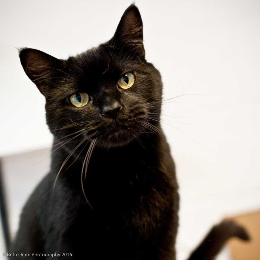 Meet Ludo! This sweet boy is ready to find a family to call his own. He can be active and is a purring machine. Ludo enjoys being pet, but can get overstimulated. As long as you dont overdo it with him, he is a love! Ludo is very friendly when he is in his comfort zone. He acts more like a dog and likes to hang out in your lap. Ludo is scared of dogs, but gets along with cats. He has lived with kids and done well with that, but he may be happier in a home with teenagers.Please call the shelter to learn more about his backstory! More