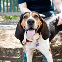 Walter came out of a high kill shelter down south and spent about 4 months in foster before heading up North. He did great with the other dog and cats in the foster home. He is house trained and crate trained. Walter loves food puzzles to keep his mind busy and would be a star student in a nose work class. Come meet this smart boy today! More