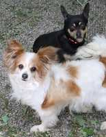 Meet Coco and Lexy, a bonded pair that came to us from Boston. They are both about 5 years old and like to be in each others company very much. Coco (long haired chihuahua) is a little shy at first but tends to warm up if some small pieces of chicken are offered. If you are looking for some canine companionship from some smaller canines this may be the pair for you. Come by and meet them today! More