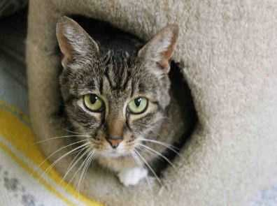 If you want a dreamboat, Macy may be your girl! This beautiful brown tabby was found outside, so we don't know her past history. The family that found her reported she was very friendly and great with the kids. We've definitely found her to be quite the affectionate little gal here, too! We don't know how Macy feels about dogs, but she has expressed to us that she is not interested in living with another cat. Macy can't wait to have a home all her own, so please come meet her soon! MORE
