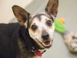 Miss Gertie is a wonderful, 11 year old little mixed breed lady with a whole lot of love to give! She loves to play tug, go for walks, and snuggle in for pats. We think that she would do fine with another small dog or cats. Gertie can be a bit fearful of strangers, so she needs a patient home who will help her when meeting new people. We recommend Gertie go to a home with older children, as this senior girl is searching for a quiet home to call her own. MORE