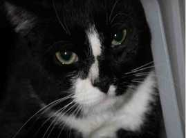 Jackie is a sweetheart of a guy! He is friendly and playful, and lived with kids and adults. Jackie is a lap cat also! He loves to watch the birds out the window. He was an only pet, so we don't know how he feels about other four legged friends. Here in the shelter, Jackie is pretty overwhelmed and does some hiding. Once you start petting him, he schmoozes right into your hand. It's not hard to see what a love he'll be once he gets into a home again! MORE