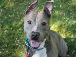 Jane is a beautiful gray pittie type mix. She is very toy motivated and enjoys playing - her favorite is the tug rope! She gets pretty excited about that though, so we are working on teaching her to drop it when asked. Jane is friendly with people and is outgoing when meeting new friends. She was found outside, and no owner came forward. She appears to be housetrained, keeping her kennel very clean. She loves to go for walks, and uses an easy-walk harness to help discourage her from pulling on the leash. Jane has gotten along with the other dogs she has met here, however we do not know how she feels about cats. MORE