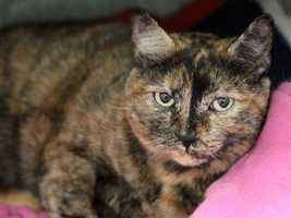 Katie is at the shelter through no fault of her own. A grandchild in the home became allergic to her. In her home, Katie was friendly with everyone! Here at the shelter, this beautiful tortie will immediately roll over when someone visits with her. She also purrs right away. Katie can offer her new owner lots of love and cuddle time. MORE