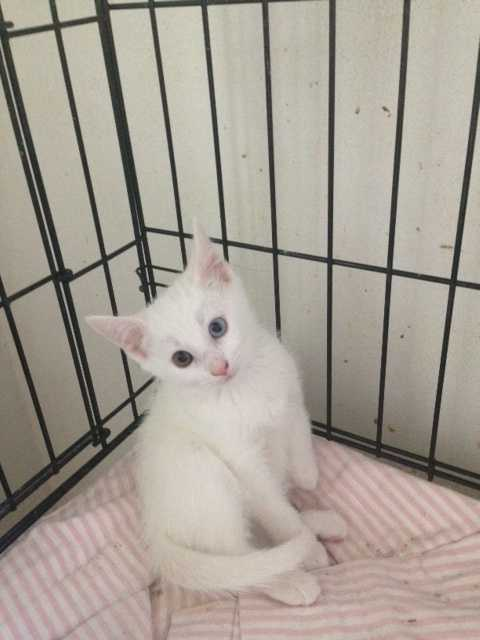 Sweet Charm is a domestic short hair white kitten. With one green eye and one blue eye. Charm is 8 weeks old. We would like to see Charm and her mom, Pearl, be adopted together, if possible. MORE