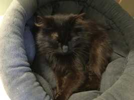 Tessie is a petite, 2 year old,, longhaired, spayed female. She is shy and takes time to come out of her shell, but once she warms up she will stea l your heart! If you're looking for a younger, calm cat then this is the girl for you. She prefers a home that's not too busy and might do well with a confident cat friend that will bring her out of her shell (she's lived with cats before). MORE
