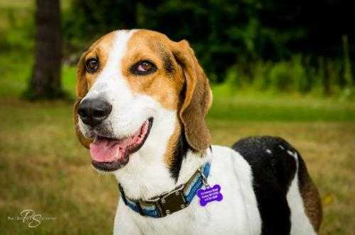 Walker is a 2-3 year old Tree Walker Coonhound who is patiently waiting for a home to call his own. Walker is the definition of fun! He loves to play with toys, other dogs of all sizes and children. He would love an active home where he can go for daily walks, play in the back yard and at the end of the day snuggle up to his people. MORE