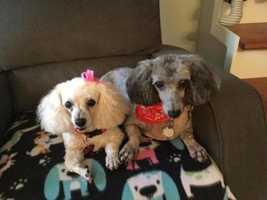 Cece and Crawford are 10-12 year old poodles who are looking for a new forever home to live out their golden years. Due to illness their owner could no longer care for them and they found themselves in a shelter. They are doing great in their foster home and are two very sweet pups who will joy to any family. MORE