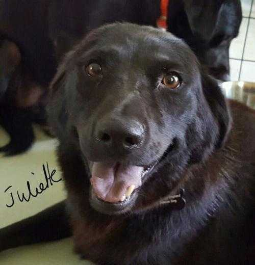Juliette is a 2.5 year old Labrador mix. She was born under a house and then was lucky enough to end up in a pet sanctuary and 2016 has now moved into a foster home. Juliette is the sister to Jewel and she is just as sweet, loving and calm as her sister. She also is adjusting to living indoors and is doing remarkably well. Juliette would love a home that can help her blossom and give her lots of love. MORE