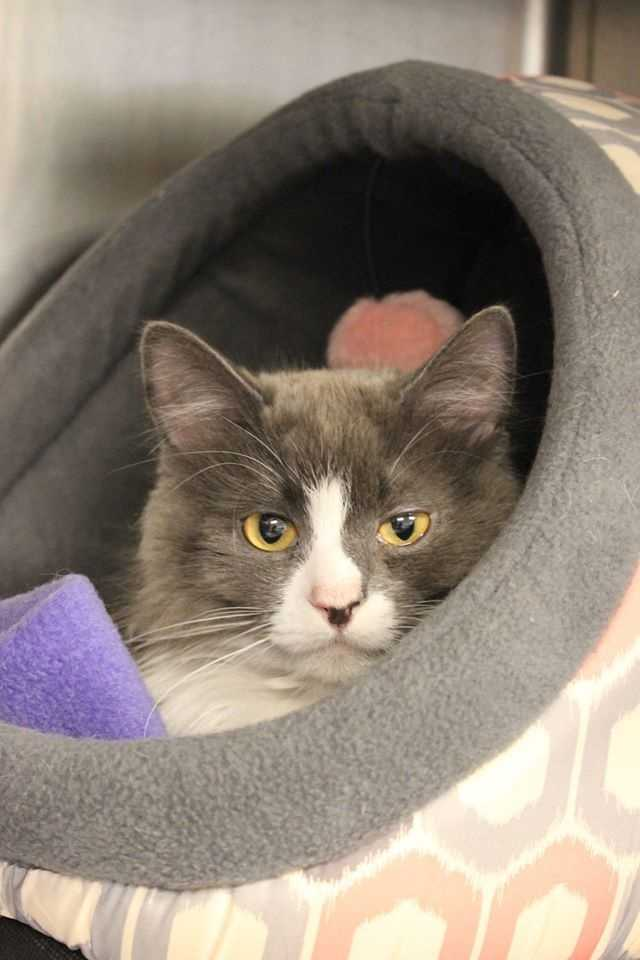 My name is Whiskers! I am a 1 year old female DSH. My brother Mittens (adopted) and I were found together surviving outside. Probably we were once upon a time indoor only cats. I need to be kept safely inside again. I am a little shy and will need some time to feel comfortable and warm up. Please contact the shelter staff by phone at (978) 443-6990 or email at info@buddydoghs.com, or visit us during our regular business hours at 151 Boston Post Road in Sudbury, MA.