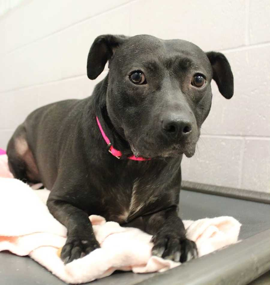 My name is Bambi! I am a 5 year old spayed female lab/terrier mix. Sadly, my owner passed away unexpectedly, and my housemate Beau and I were brought to Buddy Dog to find a loving home. I am timid at first, but very sweet and friendly underneath! Please contact the shelter staff by phone at (978) 443-6990 or email at info@buddydoghs.com, or visit us during our regular business hours at 151 Boston Post Road in Sudbury, MA.