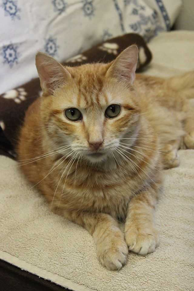B.J. is a 2 year-old orange Male DSH. B.J. would do best in a home that matches his energy-level (laid-back), and is quiet. B.J.'s new family will need to be patient with him while he settles into his new home. For more information, please call, visit, or email the shelter. Buddy Dog Humane Society, Inc. Sudbury, MA (978) 443-6990 or info@buddydoghs.com