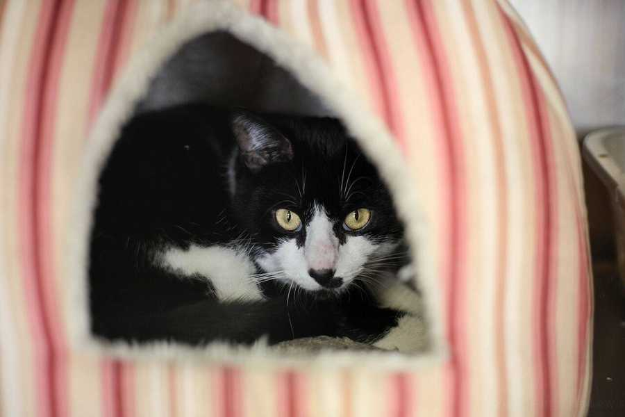 """My name is Chaplin! I am a 3 year old neutered male DSH. My previous owner said I am an amazingly sweet, affectionate cat who would do best as an """"only child"""". When a dog was introduced into the household it made me very unhappy, but in a less stressful situation, I'll do fine. Please contact the shelter staff by phone at (978) 443-6990 or email at info@buddydoghs.com, or visit us during our regular business hours at 151 Boston Post Road in Sudbury, MA."""