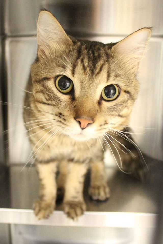 My name is Freshie! I am a 6 year old male DMH. I am a very sweet boy that was found as a stray, so not much is known about me-and I'm not talking! A nice animal control officer found me and brought me here to find my forever home. Please contact the shelter staff by phone at (978) 443-6990 or email at info@buddydoghs.com, or visit us during our regular business hours at 151 Boston Post Road in Sudbury, MA.